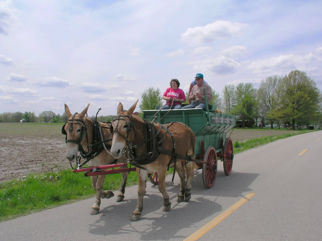 Kate and Annie, a Belgian Mule Team pulling an antique wagon